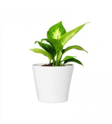 Palm Live Plant